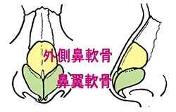外鼻の解剖